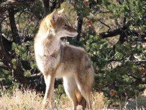 Coyote, Wildlife in Woodmoor